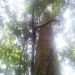 伊勢神宮内の巨木
